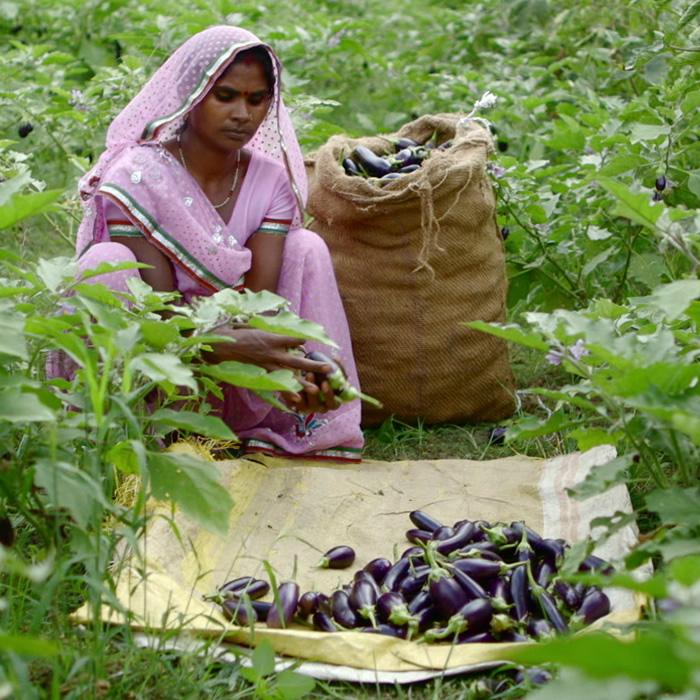 Woman harvesting eggplant